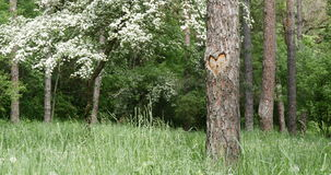 Heart Carved in the Bark of a Tree. On a background of green summer forest stock video footage