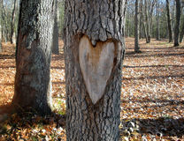 Heart carved in tree trunk. Heart carved on tree trunk in autumn woods Royalty Free Stock Image