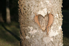 Heart Carved in Tree in the Woods. Heart Carved in Well-Lighted Tree in the Woods, with Background in Shadow Stock Photography