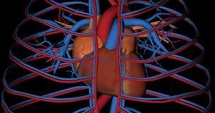 Heart, cava vein and aorta artery, in rotation