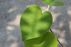 Heart chaped leaves. Are amazing Stock Photos