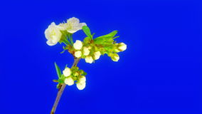 Heart of cherry flowers FullHD. Timelapse cherry tree branch on blue background. Unwrapping flowers are forming a heart shape - great theme for Valentine's day stock footage