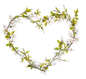 Heart from cherry tree flowers isolated on white Stock Image