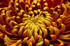 Heart of Chrysanthemum. S, the shape of heart and petal Stock Photography