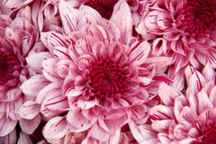 Heart of Chrysanthemum. S, the shape of heart and petal Stock Image