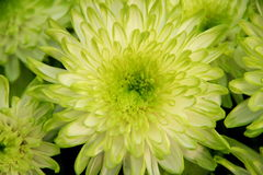Heart of Chrysanthemum. S, the shape of heart and petal Stock Photos