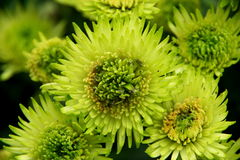 Heart of Chrysanthemum. S, the shape of heart and petal Royalty Free Stock Photography