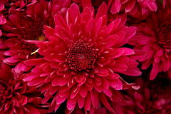 Heart of Chrysanthemum. S, the shape of heart and petal Royalty Free Stock Image