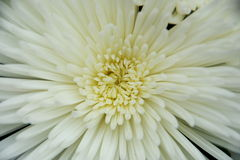 Heart of Chrysanthemum. S, the shape of heart and petal Stock Images