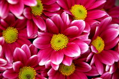 Heart of Chrysanthemum. S, the shape of heart and petal Royalty Free Stock Images