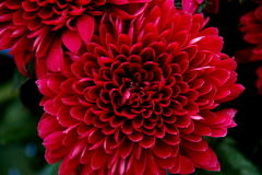 Heart of Chrysanthemum. S, the shape of heart and petal Royalty Free Stock Photos