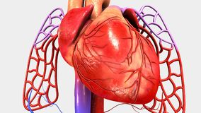 Heart with Circulatory System Royalty Free Stock Photography