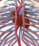 Heart, circulatory system and ribs Royalty Free Stock Images