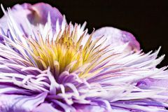 The heart of a clematis flower stock photography