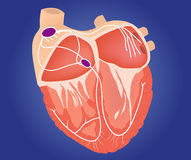 Heart conduction system illustration. Royalty Free Stock Photo