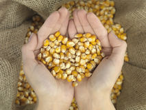 Heart corn. Hands that hold corn in heart shape over a canvas bag Royalty Free Stock Image