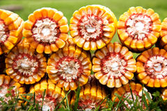 Heart of corn cobs. Corn cobs in grass, natural healthy food Royalty Free Stock Images