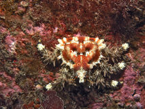 Heart Crab (Phyllolithodes papillosus). Heart Crab photographed in southern BC at a depth of 30'.  Named for the raised heart Royalty Free Stock Photos