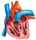 Heart cross-section Stock Image