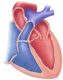 Heart - Cutaway View. Human heart cutaway view showing internal structures Stock Image