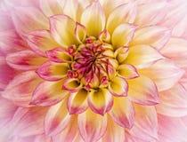 Heart of a Dahlia Royalty Free Stock Photo