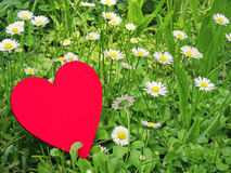 Heart and daisies Stock Images