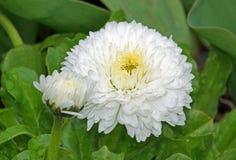 Heart of daisy pompom Stock Photo