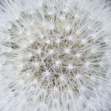 Heart of a dandelion Royalty Free Stock Images