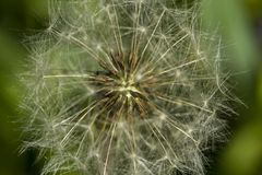 Heart of a dandelion. Summer flower structure.