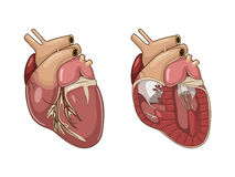 Heart of a dog vector illustration Royalty Free Stock Photos