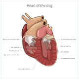 Heart of a dog vector illustration Stock Images