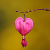 Heart flower Dicentra spectabilis Stock Photo