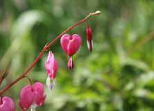 Heart flower or lamprocapnos spectabilis or bleeding heart Royalty Free Stock Photography