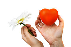 Heart and  flower in woman hands  for valentine Royalty Free Stock Photography