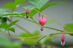 Heart Flowers. Bleeding Heart Flowers blooming in garden Royalty Free Stock Image