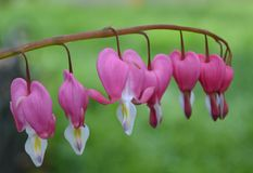 Heart Flowers. Bleeding Heart Flowers blooming in garden Stock Image
