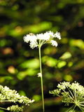 In the heart of the forest the light passes on a Wild carrot royalty free stock image