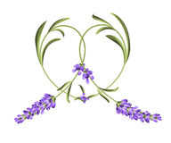 Heart frame of lavender flower Royalty Free Stock Image