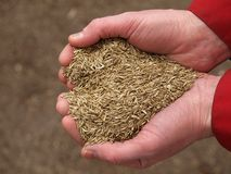 Heart from grass seeds, closeup. Handful of grass seeds ready for planting, closeup stock photography
