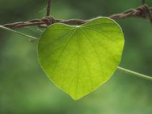 Heart green color leave close up Royalty Free Stock Image