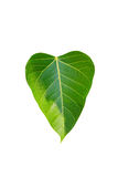 Heart green love world. Bodhi tree as a symbol of Buddhism is considered a significant tree stock image