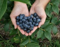 Fresh handful of Blueberries Stock Photos
