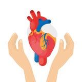 Heart in hands. Stock Photo