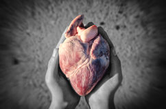 Heart in hands. Pork heart in hands, abstract creative royalty free stock photos