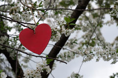 Heart hanging in Blooming Tree Royalty Free Stock Photography