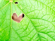 Heart hole shape on leaf Royalty Free Stock Photography