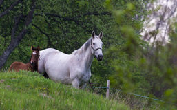 Heart of a horse. Mother and foal enjoying spring in a nature pasture in Sweden Stock Images