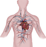 Heart and human vascular system Royalty Free Stock Photos