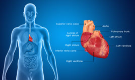 Heart. The human heart is a vital organ that functions as a pump, providing a continuous circulation of blood through the body, by way of the cardiac cycles Stock Image