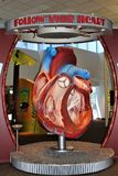 Heart. Large model of a human heart with parts exposed Stock Photography